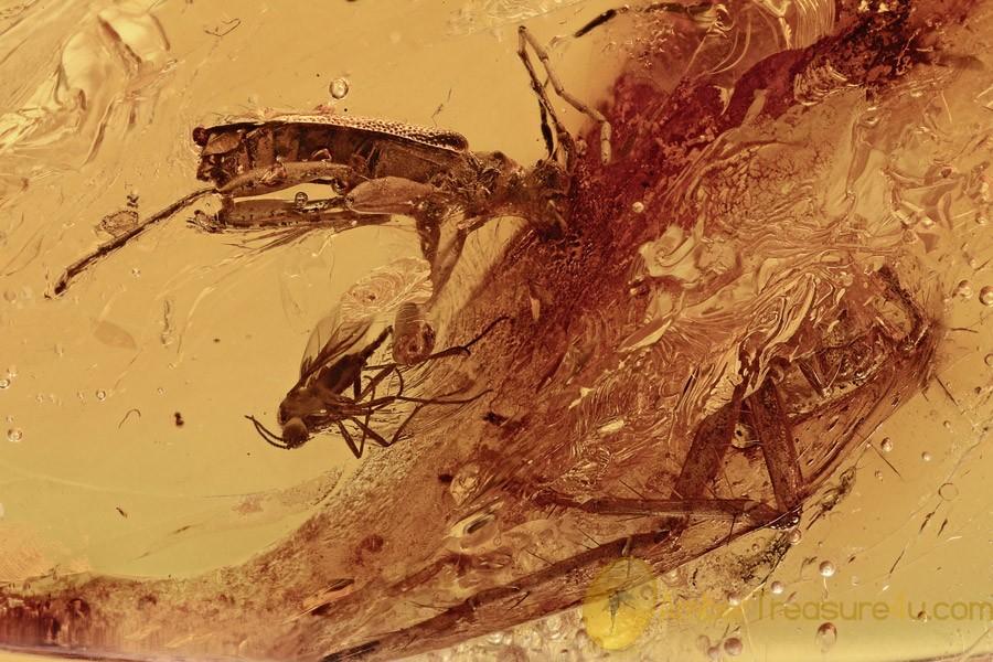 CERAMBYCIDAE OBRIUM Rare Longhorn Beetle + Genuine BALTIC AMBER 2843
