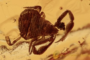 GEOGARYPIDAE Great PSEUDOSCORPION Fossil Genuine BALTIC AMBER 2839