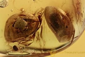 2 Rare LIMNICHIDAE Minute Marsh-Loving Beetles BALTIC AMBER 2845