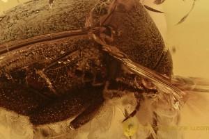 LEIODIDAE Cholevinae ROUND FUNGUS BEETLE Fossil BALTIC AMBER 2847