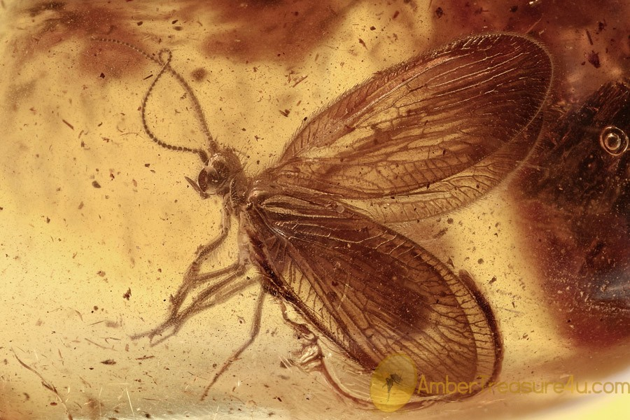 Well Preserved Spongillafly SISYRIDAE Neuroptera BALTIC AMBER 2851