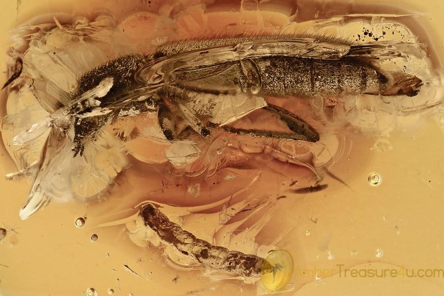 GIANT Longhorn Beetle CERAMBYCIDAE & Larvae Genuine BALTIC AMBER 2856
