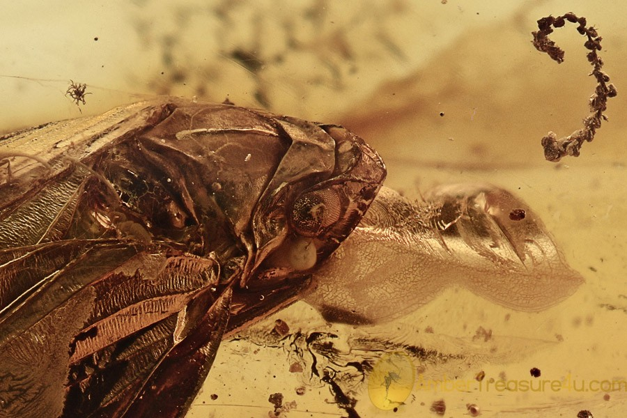 Large PLANTHOPPER Cicada & MOSS Twig Bryophyta BALTIC AMBER 2g 2861