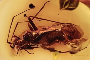 Big EYED True Bug Anthocoridae Inclusion Genuine BALTIC AMBER 2862