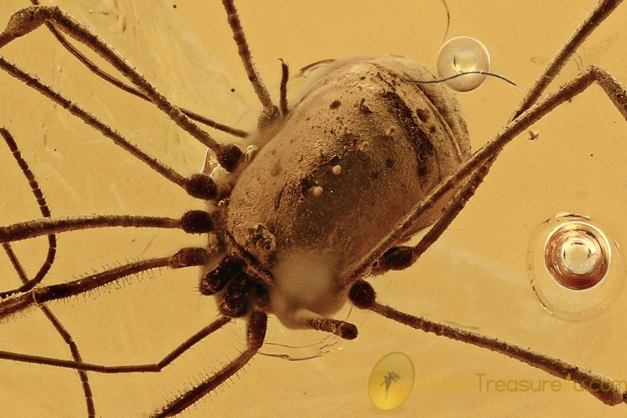 NEMASTOMATIDAE Super Harvestmen OPILIONE Genuine BALTIC AMBER 2869