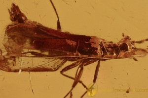 Nice SOLDIER BEETLE Cantharidae Malthininae Genuine BALTIC AMBER 2868