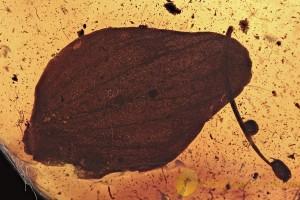 Large ROSE PETAL & STAMEN Rare Plant Rosacea Fossil BALTIC AMBER 2872