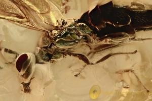 Large COLORFUL Wasp Greenish Metallic Shade Fossil BALTIC AMBER 2880