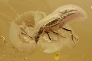 OCELLATE ROVE BEETLE Scydmaeninae & 2 Coccoidea BALTIC AMBER 2.1g 2886