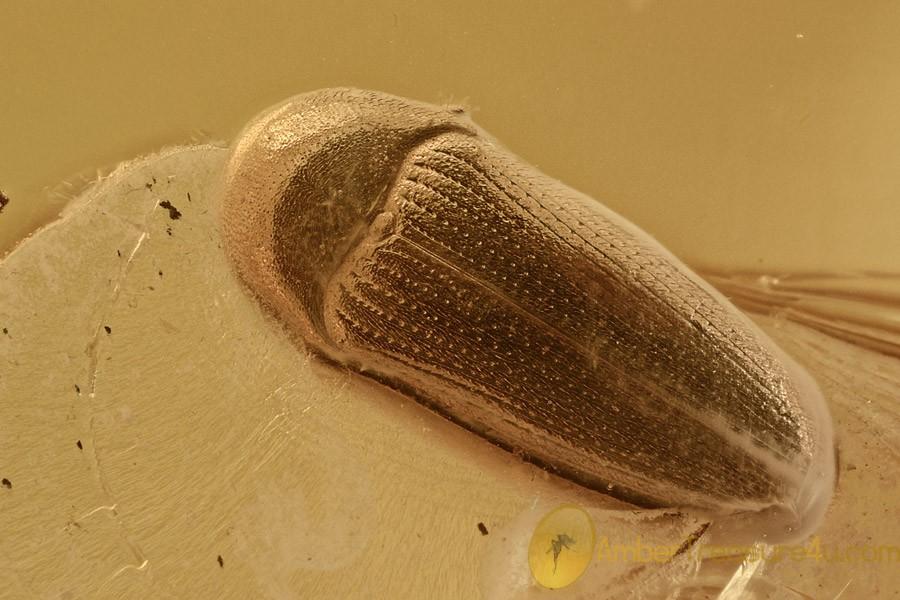 2 FALSE METALLIC WOOD-BORING BEETLES Throscidae BALTIC AMBER 1.9g 2892
