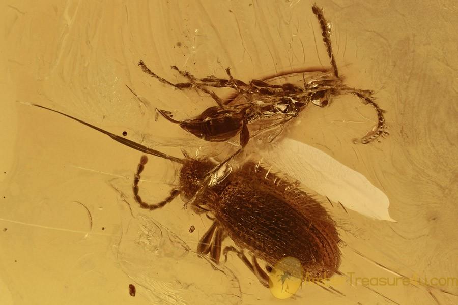 PTINIDAE PTINUS Death-watch Beetle & Wasp Genuine BALTIC AMBER 2898