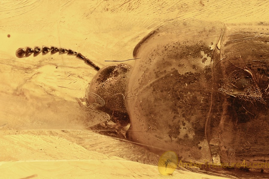 TENEBRIONINAE Alphitobiini Huge Darkling Beetle BALTIC AMBER 7.1g 2902
