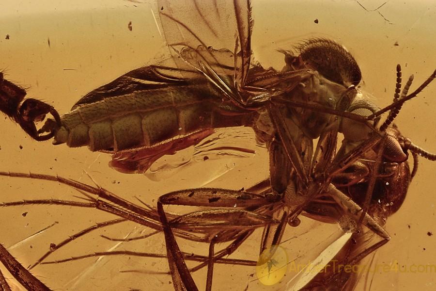 MATING Lygistorrhinidae Long-Beaked Fungus Gnats BALTIC AMBER 2908