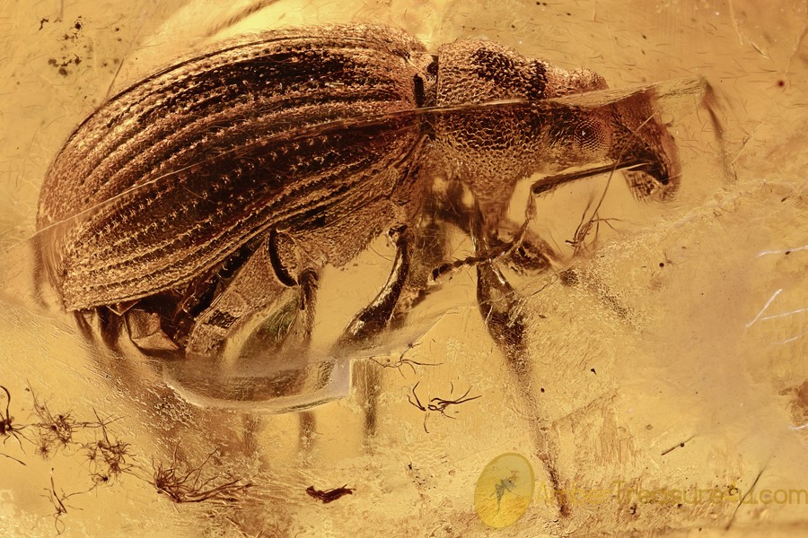 MAMMALIAN HAIR & BROAD-NOSED WEEVIL Paonaupactus BALTIC AMBER 2914
