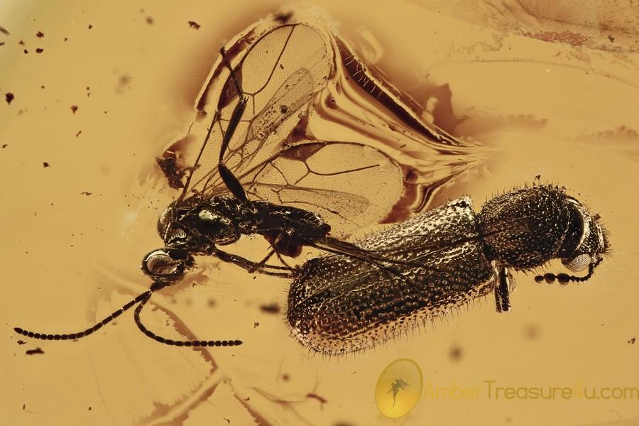 DINODERINAE Bostrichidae RARE Twig Borer Beetle BALTIC AMBER 2921