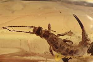 GIANT Dermaptera Great EARWIG Fossil Genuine BALTIC AMBER 2.3g 2930