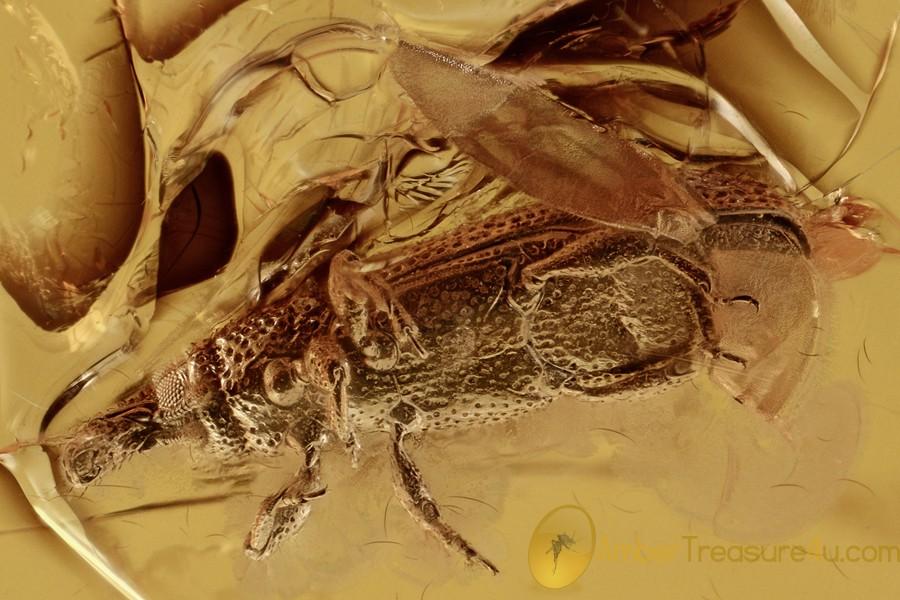 SNOUT BARK BEETLE Weevil Cossoninae Curculionidae BALTIC AMBER 2925