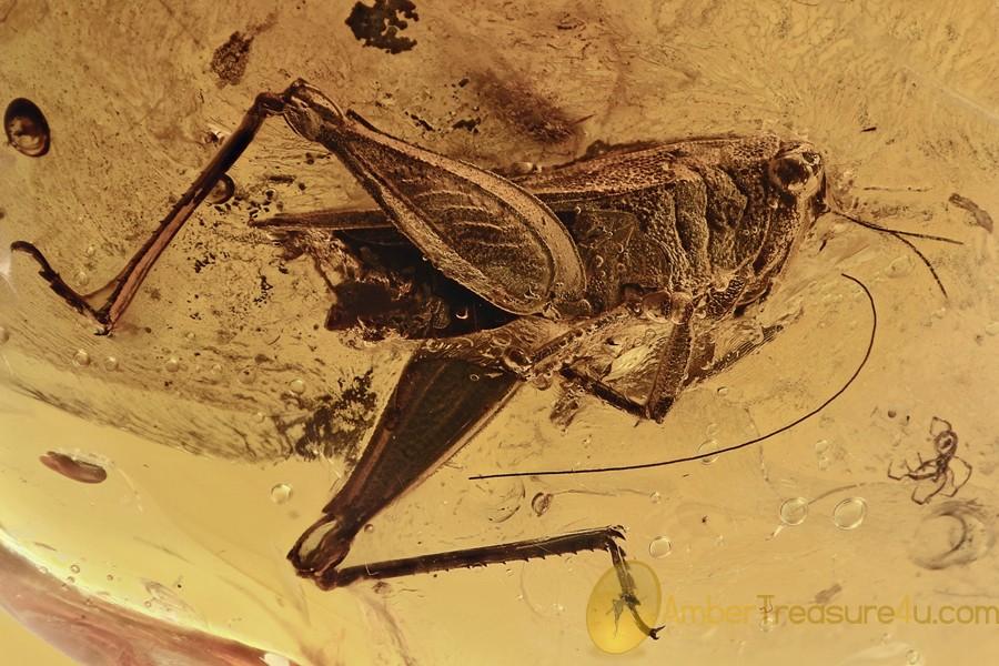 CAELIFERA Grasshopper Extremely Rare Tetrigidae BALTIC AMBER 7.3g 2936