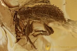 WEEVIL Molytinae SNOUT BEETLE Curculionidae Genuine BALTIC AMBER 2933