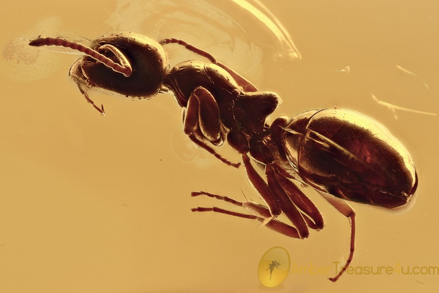 PERFECT Preserved Rare ANT Dolichoderus Genuine BALTIC AMBER 2934