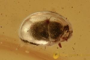 SHINING FLOWER BEETLE Phalacridae Inclusion Genuine BALTIC AMBER 2931
