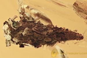 GIANT Case w Larvae INSIDE Lepidoptera Moth BALTIC AMBER 28g 2944