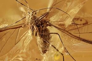 PERFECT Winged Aphid BIG Drepanosiphidae + Genuine BALTIC AMBER 2937
