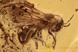 Rare Huge BEE Apidae Apoidea Inclusion Genuine BALTIC AMBER 4g 2952