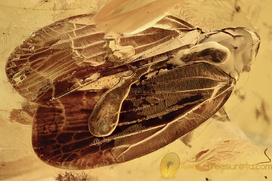 Large Nice PLANTHOPPER Fulgoroidea Fossil Genuine BALTIC AMBER 2961