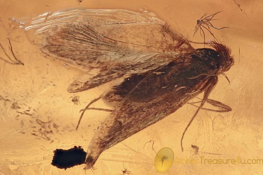 Nice MOTH Lepidoptera Inclusion Genuine BALTIC AMBER 2.5g 2959