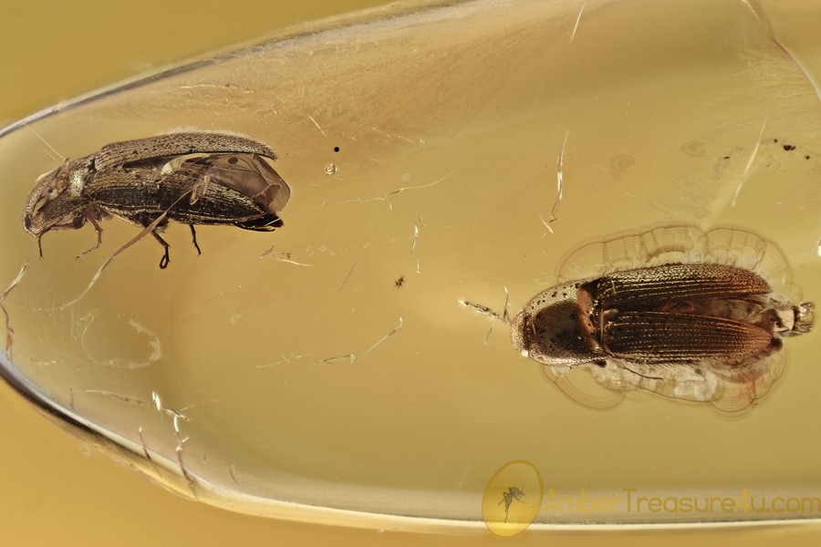 Pair of Well Preserved CLICK BEETLES Elateridae BALTIC AMBER 2958