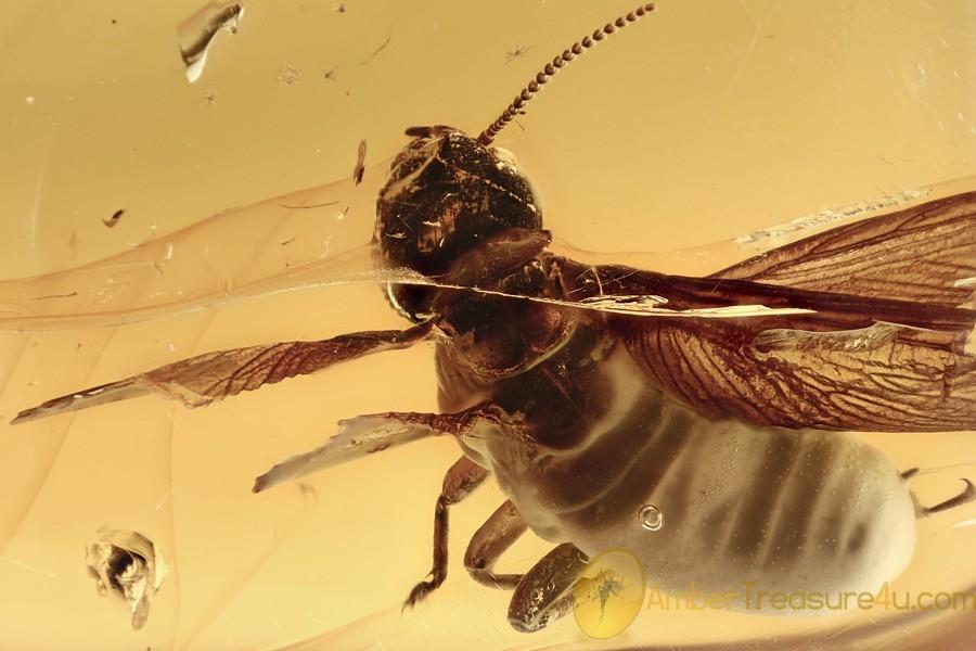 LARGE Termite MASTOTERMITIDAE Isoptera Genuine BALTIC AMBER 2963
