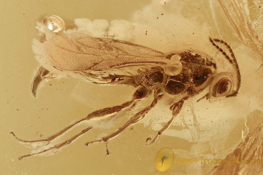 Nice DIAPRIIDAE Wasp Fossil Inclusion Genuine BALTIC AMBER 2965