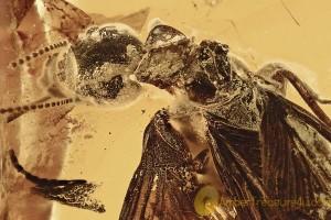 Huge TERMITE Isoptera Mastotermitidae Genuine BALTIC AMBER 2987