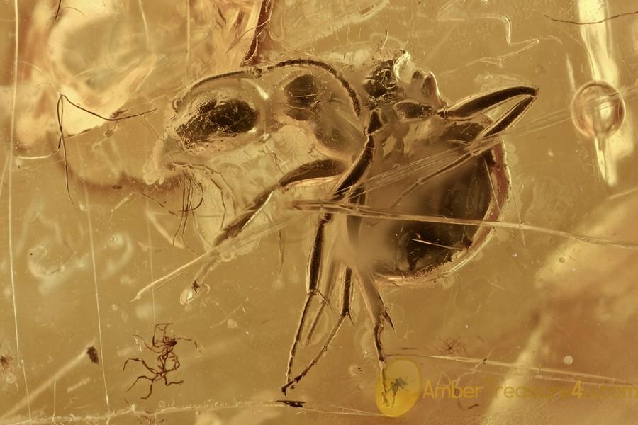 RARE Ant DOLICHODERUS Fossil Inclusion Genuine BALTIC AMBER 2996