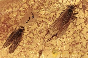 SWARM of 3 Superb Booklices PSOCOPTERA Genuine BALTIC AMBER 2998