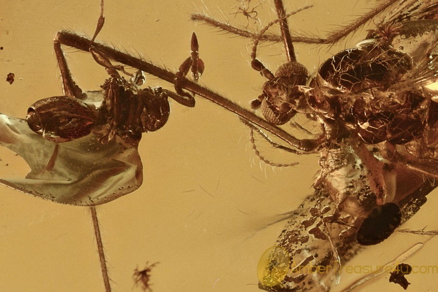 PHORETIC Mite Suck To FLY & Parasitic Wasp on Leg BALTIC AMBER 3005
