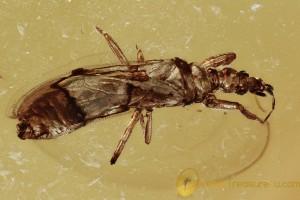 Very Rare GNAT BUG Enicocephalidae Fossil Genuine BALTIC AMBER 3015