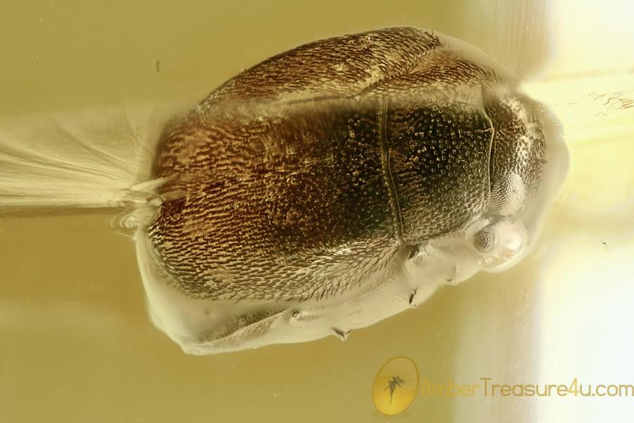 SKIN BEETLE Dermestidae Anthrenus Fossil Genuine BALTIC AMBER 3024