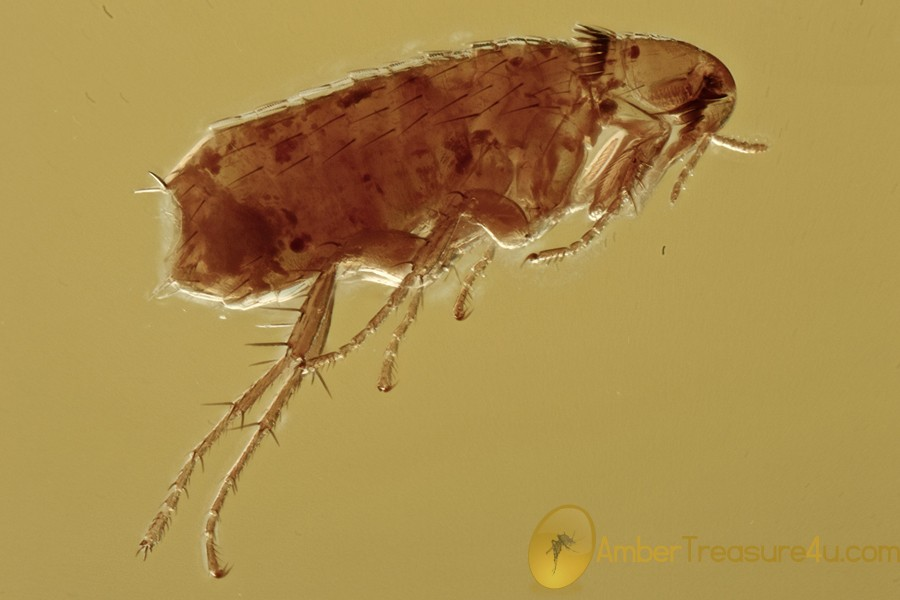 Extremely Rare FLEA Siphonaptera Fossil Genuine BALTIC AMBER 3037