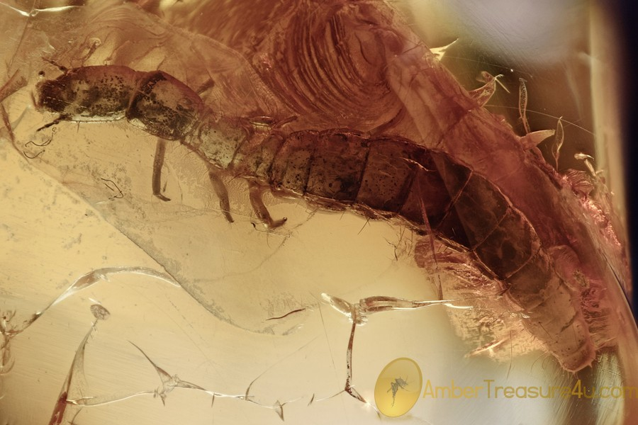 SNAKEFLY LARVAE Rare Raphidioptera Fossil Genuine BALTIC AMBER 3041