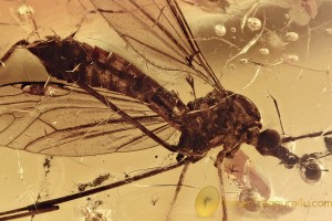 TIPULIDAE Large Great CRANE FLY Fossil Genuine BALTIC AMBER 3.5g 3047