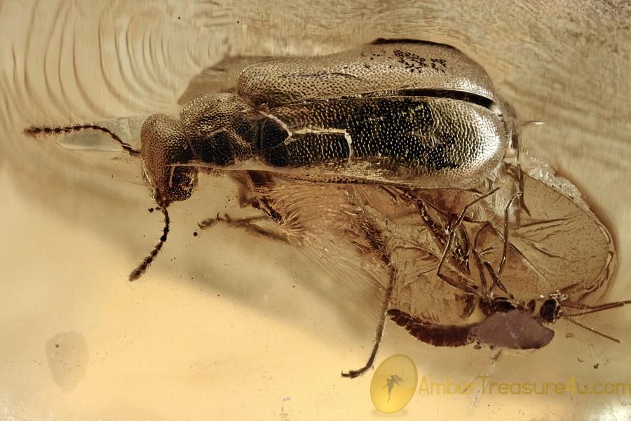 Rare PALM BEETLE Mycteridae Omineus & Thrip Fossil BALTIC AMBER 3054