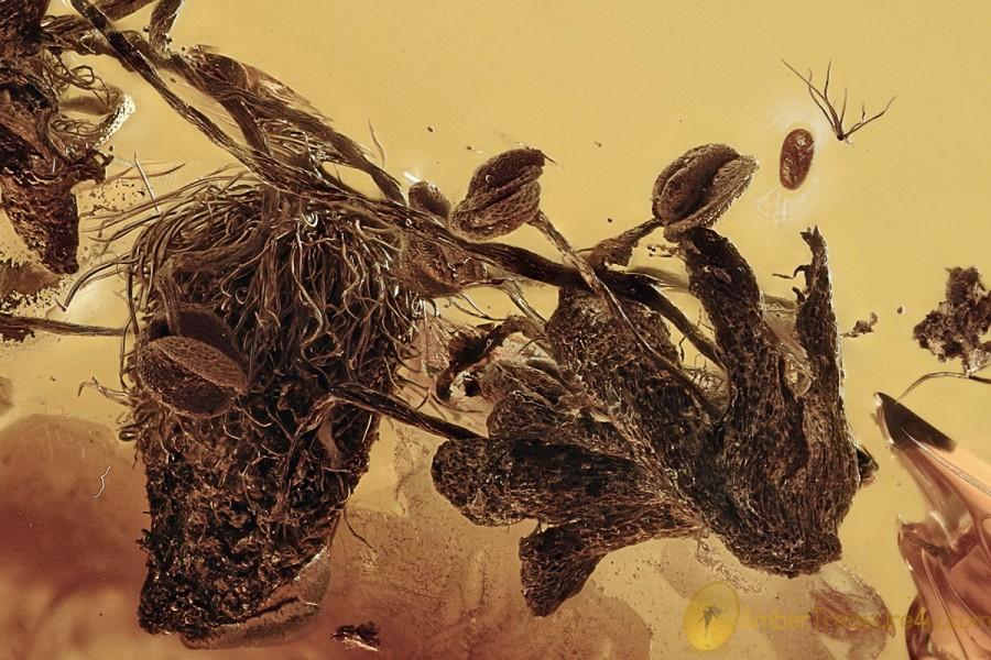 2 OAK FLOWERS Rare Plant Fossil Inclusion Genuine BALTIC AMBER 3062