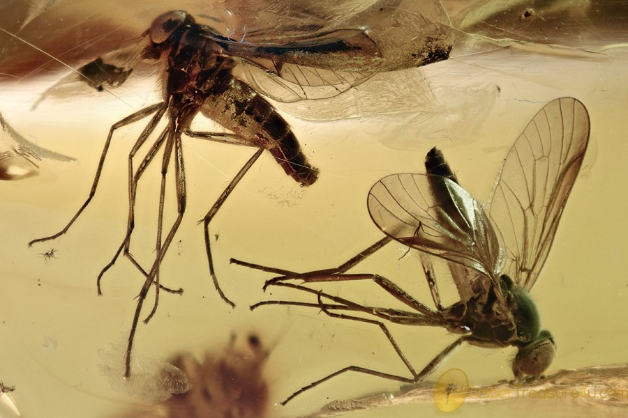 2 Large SNIPE FLIES Rhagionidae Fossil Genuine BALTIC AMBER 4.5g 3065
