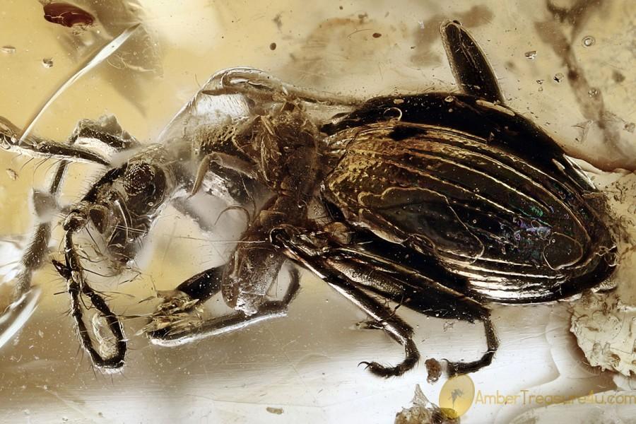 MASTIGITAE Leptochromini Ant-like Stone Beetle BALTIC AMBER 3069