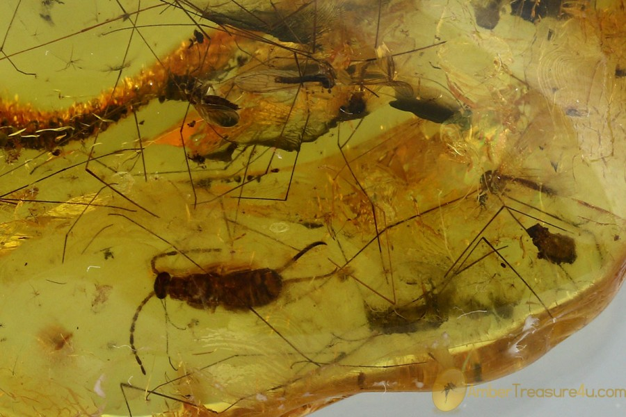 Large EARWIG Dermaptera & 3 CRANE FLIES Genuine BALTIC AMBER 8.5g 3072