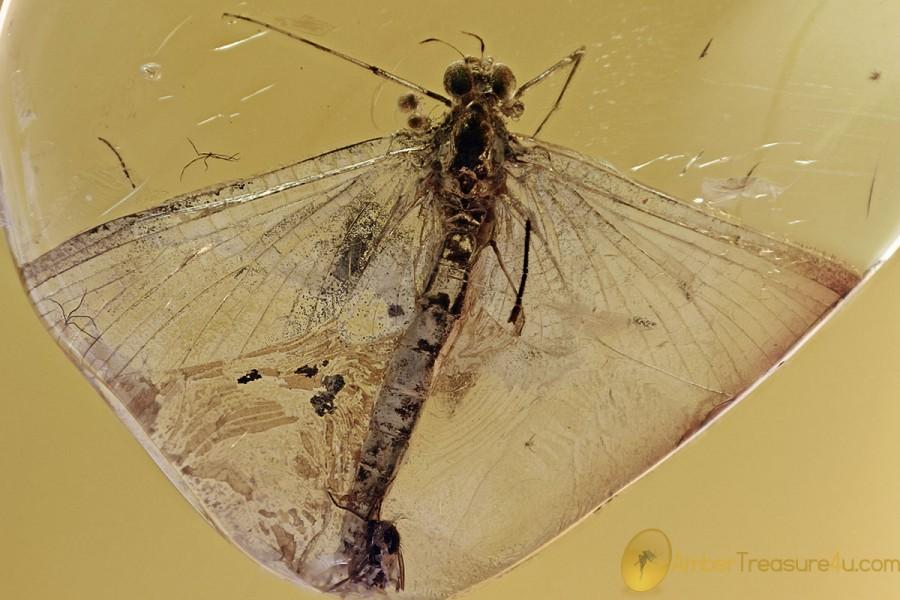 Large MAYFLY Ephemeroptera 3 Mites PHORESY Fossil BALTIC AMBER 3074