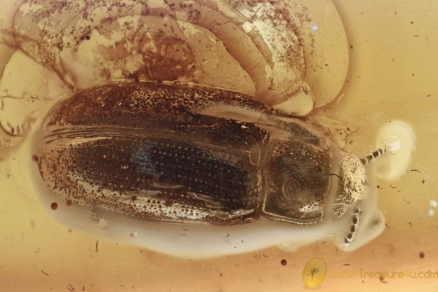 PLEASING FUNGUS BEETLE Pharaxonothinae EROTYLIDAE BALTIC AMBER 3077