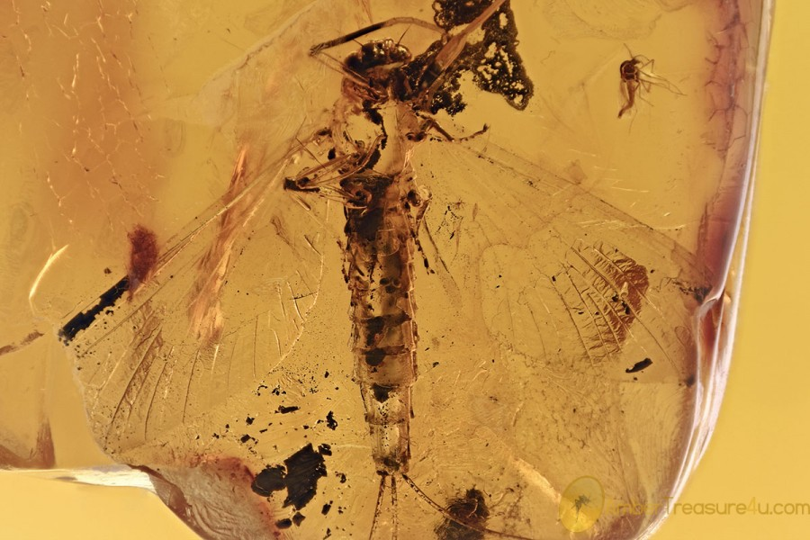 Rare ACTION! Ant EATING Giant MAYFLY Fossil Genuine BALTIC AMBER 3081